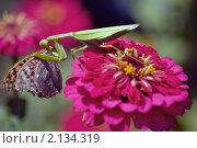Купить «Богомол на цветке поедает бабочку», фото № 2134319, снято 8 сентября 2009 г. (c) Кристина Кеворкова / Фотобанк Лори