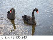 Купить «Пара черных лебедей», фото № 2135243, снято 24 сентября 2010 г. (c) Наталья Волкова / Фотобанк Лори