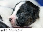 Купить «Новорожденный щенок папильона», фото № 2136295, снято 14 ноября 2010 г. (c) Сергей Лаврентьев / Фотобанк Лори