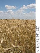 Поле с пшеницей. Стоковое фото, фотограф Юрий Николенко / Фотобанк Лори