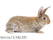 Купить «Молодой коричневый кролик», фото № 2142331, снято 9 ноября 2010 г. (c) Дмитрий Калиновский / Фотобанк Лори
