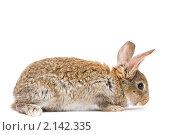 Купить «Молодой коричневый кролик», фото № 2142335, снято 9 ноября 2010 г. (c) Дмитрий Калиновский / Фотобанк Лори