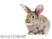 Купить «Молодой коричневый кролик», фото № 2142347, снято 9 ноября 2010 г. (c) Дмитрий Калиновский / Фотобанк Лори