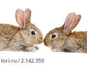 Купить «Два молодых коричневых кролика», фото № 2142359, снято 9 ноября 2010 г. (c) Дмитрий Калиновский / Фотобанк Лори