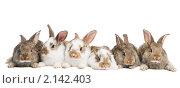 Купить «Кролики», фото № 2142403, снято 9 ноября 2010 г. (c) Дмитрий Калиновский / Фотобанк Лори