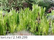 Купить «Папоротник (лат. Polypodiophyta)», эксклюзивное фото № 2149299, снято 14 мая 2010 г. (c) Ольга Пашкова / Фотобанк Лори