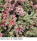 Купить «Седум ложный, или очиток, форма трехцветная (Sedum spurium)», фото № 2162923, снято 24 сентября 2010 г. (c) Заноза-Ру / Фотобанк Лори