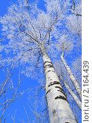Купить «Берёзы в инее», фото № 2164439, снято 25 ноября 2010 г. (c) Григорий Писоцкий / Фотобанк Лори