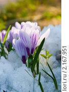 Купить «Крокусы», фото № 2167951, снято 26 апреля 2009 г. (c) Елена Блохина / Фотобанк Лори