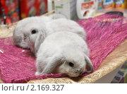 Купить «Три крольчонка в зоомагазине (фокус на ближнем)», фото № 2169327, снято 26 ноября 2010 г. (c) Анна Мартынова / Фотобанк Лори