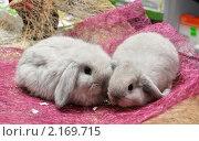 Купить «Крольчата породы вислоухий баран шиншиллового окраса продаются в зоомагазине», фото № 2169715, снято 26 ноября 2010 г. (c) Анна Мартынова / Фотобанк Лори