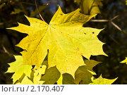 Купить «Желтый кленовый лист», фото № 2170407, снято 24 октября 2010 г. (c) ИВА Афонская / Фотобанк Лори