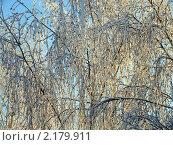 Купить «Ветви заснеженной берёзы», фото № 2179911, снято 17 января 2010 г. (c) Григорий Белоногов / Фотобанк Лори