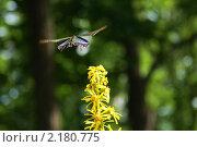 Полет махаона. Стоковое фото, фотограф Марина Когута / Фотобанк Лори