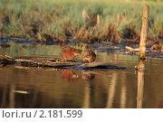 Купить «Ондатра на подмосковной реке Пехорка», эксклюзивное фото № 2181599, снято 27 апреля 2010 г. (c) Дмитрий Неумоин / Фотобанк Лори