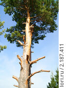 Сибирская сосна. Стоковое фото, фотограф Андрей Чугуй / Фотобанк Лори