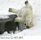 Купить «Белый медвежонок лежит на снегу вниз головой», фото № 2187451, снято 9 сентября 2010 г. (c) Fro / Фотобанк Лори