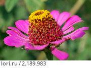 Купить «Цветок Цинния», фото № 2189983, снято 8 августа 2010 г. (c) Алексей Трофимов / Фотобанк Лори