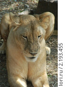 Купить «Сонная львица», фото № 2193455, снято 21 ноября 2010 г. (c) Юлия Севастьянова / Фотобанк Лори