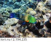 Купить «Тропическая рыбка на коралловом рифе в Красном море, Египет», фото № 2194235, снято 11 января 2010 г. (c) Михаил Марковский / Фотобанк Лори