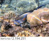 Купить «Тропическая рыбка на коралловом рифе в Красном море, Египет», фото № 2194251, снято 16 января 2010 г. (c) Михаил Марковский / Фотобанк Лори