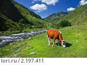 Рыжая корова, пасущаяся на горном лугу. Стоковое фото, фотограф Наталья Громова / Фотобанк Лори
