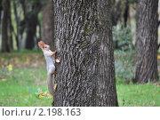 Белка, сидящая на дереве. Стоковое фото, фотограф Решетило Александр / Фотобанк Лори