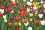 Поле разноцветных тюльпанов, фото № 2199435, снято 14 мая 2010 г. (c) Наталья Волкова / Фотобанк Лори