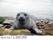 Гренландский тюлень. Стоковое фото, фотограф Александр Новиков / Фотобанк Лори
