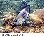 Купить «Тропическая рыбка на коралловом рифе в Красном море, Египет», фото № 2202043, снято 16 января 2010 г. (c) Михаил Марковский / Фотобанк Лори