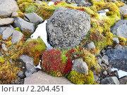Купить «Земля Франца-Иосифа. флора», фото № 2204451, снято 22 июля 2010 г. (c) Владимир Мельник / Фотобанк Лори