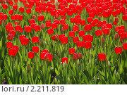 Купить «Красные тюльпаны на клумбе», фото № 2211819, снято 8 мая 2009 г. (c) Литова Наталья / Фотобанк Лори