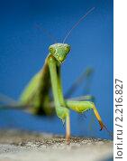 Купить «Зелёный богомол на синем фоне. Портрет.», фото № 2216827, снято 25 сентября 2010 г. (c) Михаил Иванов / Фотобанк Лори
