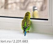 Встреча и разговор волнистого попугайчика и синицы через стекло пластикового окна, эксклюзивное фото № 2231683, снято 22 сентября 2017 г. (c) Игорь Низов / Фотобанк Лори
