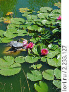 Купить «Лотос (Nelumbo) и водные черепахи (Testudines) в пруду», эксклюзивное фото № 2233127, снято 29 июня 2010 г. (c) lana1501 / Фотобанк Лори