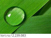 Купить «Капля воды на листе», фото № 2239083, снято 22 июня 2009 г. (c) Сергей Петерман / Фотобанк Лори