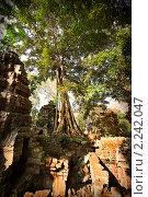 Купить «Огромное дерево растет на развалинах кхмерского храма Та Пром, храмовый комплекс Ангкор, Камбоджия», фото № 2242047, снято 12 декабря 2010 г. (c) Николай Винокуров / Фотобанк Лори