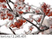 Купить «Веточка рябины во льду», фото № 2245431, снято 26 декабря 2010 г. (c) Екатерина Овсянникова / Фотобанк Лори