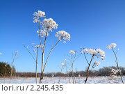 Купить «Растения в снегу», фото № 2245435, снято 9 января 2010 г. (c) Сергей Яковлев / Фотобанк Лори