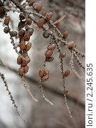 Купить «Лиственница зимой», фото № 2245635, снято 26 декабря 2010 г. (c) Лена Лазарева / Фотобанк Лори