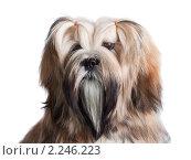 Купить «Портрет собаки породы Лхасский Апсо, изолированной на белом фоне», фото № 2246223, снято 31 октября 2010 г. (c) Andrey Eremin / Фотобанк Лори