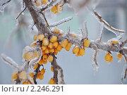 Купить «Облепиха во льду», фото № 2246291, снято 26 декабря 2010 г. (c) Новикова Екатерина / Фотобанк Лори