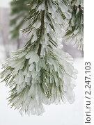 Купить «Ледяные иголки. Обледеневшая сосна», фото № 2247103, снято 26 декабря 2010 г. (c) Валерия Попова / Фотобанк Лори