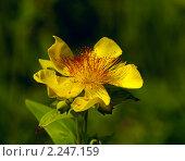 Купить «Желтый цветок Зверобоя Геблера (лат. Hypericum gebleri) на зеленом фоне», фото № 2247159, снято 13 июля 2010 г. (c) Олег Рубик / Фотобанк Лори