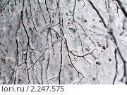 Купить «Обледенелые ветви деревьев», фото № 2247575, снято 27 декабря 2010 г. (c) Сергей Лаврентьев / Фотобанк Лори