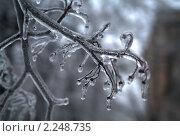 Купить «Обледеневшие ветки в Подмосковье», фото № 2248735, снято 26 декабря 2010 г. (c) Борис Двойников / Фотобанк Лори