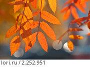 Осенний фон с листьями рябины. Стоковое фото, фотограф Икан Леонид / Фотобанк Лори