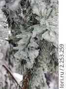 Купить «Обледенелые ветви сосны после ледяного дождя», эксклюзивное фото № 2253259, снято 27 декабря 2010 г. (c) lana1501 / Фотобанк Лори