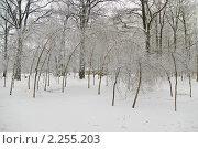Купить «Березы, наклоненные под тяжестью льда и снега», эксклюзивное фото № 2255203, снято 27 декабря 2010 г. (c) Алёшина Оксана / Фотобанк Лори