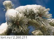 Купить «Ветка сосны с обледеневшими иголками», фото № 2260211, снято 5 января 2011 г. (c) jul_st / Фотобанк Лори